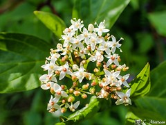 190617-31 Bouquet (clamato39) Tags: fleurs flowers plante plant olympus bokeh nature parclessaules provincedequébec québec canada