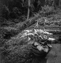 tomato cages, driveway-side garden, distant forest, near dusk, Asheville, NC, Aho Altissa box camera, Fomapan 200, HC-110 developer, 6.22.19 (steve aimone) Tags: tomatocages garden driveway forest asheville northcarolina ehoaltissa boxcamera fomapan200 hc110developer 6x6 120 120film film mediumformat monochrome monochromatic blackandwhite