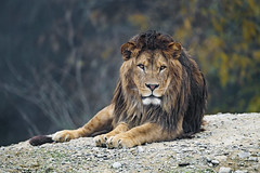 Curiously looking at me (Tambako the Jaguar) Tags: lion big wild cat male young pretty portrait face lying resting posing rock stone looking straight vegetation tree walter zoo gossau switzerland nikon d5