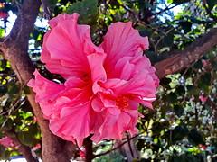 Hibiscus, 'Mrs George Davis' (gerard eder) Tags: world travel reise viajes europa europe españa spain spanien valencia flowers flores flora park parque natur nature naturaleza hibiscus outdoor