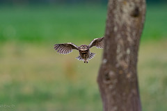 Project 2019 (eric-d at gmx.net) Tags: littleowl steinkauz athenenoctua eule eric ngc owl strigidae