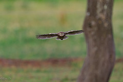 Project 2019 (eric-d at gmx.net) Tags: littleowl steinkauz athenenoctua eule eric ngc owl strigidae