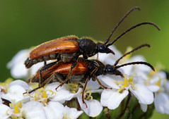 Love amongst the flowers (PJ Swan) Tags: beetles love brown insects minibeasts cromer