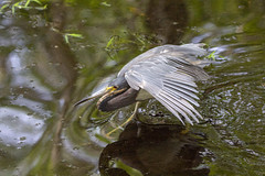 Tricolored Heron (DFChurch) Tags: sixmilecypressslough tricolored heron egrettatricolor feather wild animal bird nature florida
