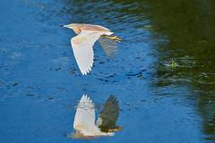 Squacco Heron ou Crabier Chevelu_PBB1545 (philippe.bois) Tags: crabierchevelu ardeolaralloides squaccoheron rallenreiher garcillacangrejera sgarzaciuffetto philippebois france nikond850 d850 nikon french nikonfrance