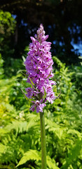 - Dactylorhiza fuchsii - (Jac Hardyy) Tags: dactylorhiza fuchsii common spotted orchid petal petals violet purple deep flower flowers blossom blossoms bloom blooms orchidee orchideen knabenkraut knabenkräuter fuchs violett dunkelviolett blüte blüten