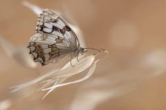 Delicada (Aristides Díaz) Tags: vidasilvestre wildlife insecto lepidóptero mariposadiurna butterfly melanargialachesis montesdegranada arroyodehuélago macro sigmaexdghsm150f28macro granada andalucía mediolutoibérica