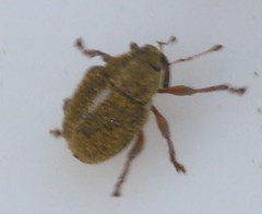 weevil indet (BSCG (Badenoch and Strathspey Conservation Group)) Tags: cnp heathland beetle curculionidae june