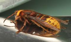 European Hornet (Vespa crabro) (imagetaker!) Tags: eurowasp wasp insects insect nature macro europeanpaperwasp polistesdominula vespacrabro europeanhornetvespacrabro