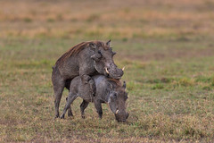 Bacon Factory (Xenedis) Tags: africa afrika animal eastafrica grass hog kenya maasaimara maranorthconservancy mating narokcounty ngiri pig plains republicofkenya riftvalley safari savannah warthog wildlife