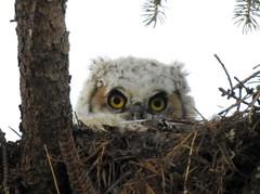 Great horned Owlette (pamfromcalgary) Tags: bird birdofprey owl greathornedowl pamhawkes