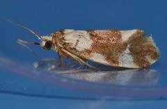 False concealer moth Philenora sp Arctiidae Lithosiinae Mandalay Rainforest Airlie Beach P1080829 (Steve & Alison1) Tags: false concealer moth philenora sp arctiidae lithosiinae mandalay rainforest airlie beach