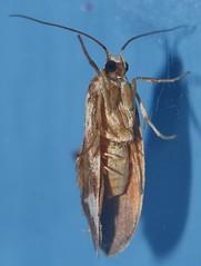 False concealer moth Philenora sp Arctiidae Lithosiinae Mandalay Rainforest Airlie Beach P1080824 (Steve & Alison1) Tags: false concealer moth philenora sp arctiidae lithosiinae mandalay rainforest airlie beach