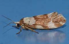 False concealer moth Philenora sp Arctiidae Lithosiinae Mandalay Rainforest Airlie Beach P1080833 (Steve & Alison1) Tags: false concealer moth philenora sp arctiidae lithosiinae mandalay rainforest airlie beach