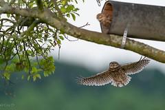 project 2019 (eric-d at gmx.net) Tags: litlle owl steinkauz athenenoctua strigidae eric eule kauz ngc bird