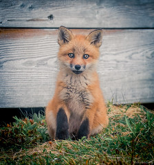 Red Fox Kit (Melissa M McCarthy) Tags: redfox fox kit baby young animal nature outdoor wildlife wild orange cute pose sitting face portrait avalonpeninsula newfoundland canada canon7dmarkii canon100400isii