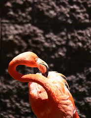 (Desmojosh) Tags: canon m50 ef 70200 f28 cape may zoo nj new jersey flamingo bird pink close
