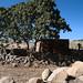 Tree and hut, near Aksum