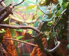Veiled Chameleon - Chamaeleo calyptorarus (Pamela Jay) Tags: veiledchameleon chamaeleocalyptorarus reptile animal green canon flickr pamelajay queensland australia