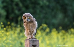 That look (Photosuze) Tags: greathornedowl owlet juvenile fuzzy staring cute mustard birds owls predators avians aves nature wildlife animals