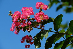 Crape Myrtle 03 06.23.19(1) (Gene Ellison) Tags: shrub crapemyrtle flowers pink petals green leaves blue sky nature photogrphy naturephotography fujifilm astia