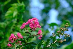 Crape Myrtle 02 06.23.19(1) (Gene Ellison) Tags: shrub crapemyrtle flowers pink petals green leaves blue sky nature photogrphy naturephotography fujifilm velvia