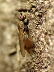 Horse Poop Sphaerocerid (treegrow) Tags: rockcreekpark washingtondc nature lifeonearth raynoxdcr250 arthropoda insect diptera sphaeroceridae copromyzaequina
