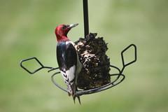 11/366/4028 (June 22, 2019) - Red-Headed Woodpecker (Saline, Michigan) - June 15th-23rd, 2019 (cseeman) Tags: redheadedwoodpecker woodpeckers woodpecker birds feeder saline michigan backyard redheadedwoodpecker06232019 seedcylinder wildbirdsunlimitedseedcylinder wildbirdsunlimited 2019project365coreys yeartwelveproject365coreys project365 p365cs062019 356project2019