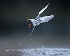 Fishin' (Patricia Ware) Tags: birdsinflight bolsachicaecologicalreserve california canon ef400mmf4doisiiusmlens forsterstern handheld huntingtonbeach sternaforsteri ©2019patriciawareallrightsreserved unitedstatesofamerica specanimal