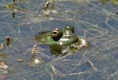 Sunday's frog (EcoSnake) Tags: americanbullfrog lithobatescatesbeiana frogs amphibians water wildlife summer june idahofishandgame naturecenter