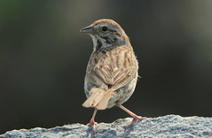 IMG_1948 Bruant chanteur (Marie-Helene Levesque) Tags: oiseau abitibi valdor bruant bruantchanteur mariehélène mariehelene