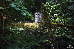 Center Stage (matthewolsonphotography.com) Tags: owl barredowl strixvaria owls wildlife birdsofprey birdofprey bird birding birds birdwatching outdoor oregon woods