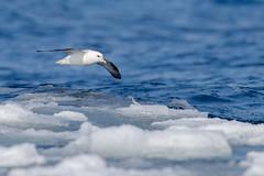 ᕐᑲᕐᑯᓪᓗᒃ | Qaqulluk | Northern Fulmar | Fulmarus glacialis (Paul B Jones) Tags: ᕐᑲᕐᑯᓪᓗᒃ qaqulluk northernfulmar fulmarusglacialis pondinlet nunavut canada arctic bird wildlife nature floeedge canoneos1dxmarkii ef600mmf4lisiiiusm ef14xiii