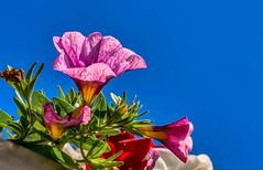 Lavender pink lobelia