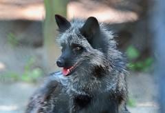 (Desmojosh) Tags: canon m50 ef 70200 f28 l nj new jersey cape may zoo fox black white close cage