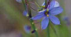 flowers-201904-3840 (skippyclese) Tags: flower petal leaves stamen blue periwinkle yellow outside outdoors spring 2019 april bokeh macro nikon d810 zeiss 105 nc north carolina unc arboretum gardens