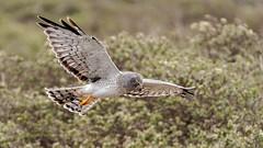 Harrier in Flight #80 (lennycarl08) Tags: birdofprey raptor hawk birds pointreyesnationalseashore northernharrier grayghost
