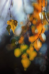 (marussia1205) Tags: береза осень листья