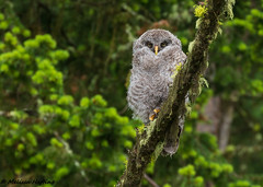 Great Gray Owlet (Strix nebulosa) -  British Columbia (bcbirdergirl) Tags: strixnebulosa greatgrayowl ggow greatgreyowl bc birds birdofprey raptor owl owlet puffball runt cutie cute youngbirders youngbirdertrip baby