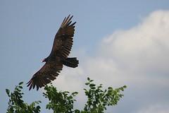 Turkey Vulture Soaring Near Beech Tree 002 - Cathartes Aura (Chrisser) Tags: birds bird vultures vulture turkeyvultures turkeyvulture cathartesaura nature ontario canada canoneosrebelt6i canonef75300mmf456iiiusmlens cathartidae