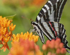 Zebra Swallowtail Portrait (Bernie Kasper (5 million views)) Tags: art berniekasper butterfly butterflies bug bugs color d750 eyes family flower floral flowers butterflyweed green hiking indiana indianawildflowers insect insects indianabutterflies jeffersoncounty light landscape leaf love leaves madisonindiana macro nature nikon naturephotography new nwr outdoors outdoor old outside orange photography park plant photos plants photo people raw sigma spring summer travel trail unitedstates usa wildflower wildflowers zebraswallowtail swallowtail