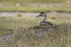Hide and Seek Duck (antonsrkn) Tags: crestedduck lophonettaspecularioidesalticola ornithology nature wildlife animal duck waterfowl andes mountains puna grasslands grassland bird birding peru