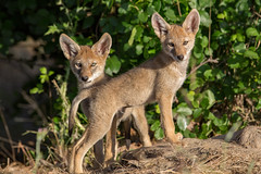 Coyote Pups (wlb393) Tags: coyote pup canislatrans livermore