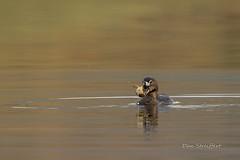 Pied-billed Grebe (Dan Streiffert) Tags: grebes birds piedbilledgrebe sinlahekinwildlifearea places