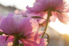 High Key Peony (Kevin Tataryn) Tags: flower light sunset bright high key nikon d500 1755 garden summer