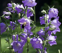Campanula & Bee (barbmerrill2) Tags: flora campanula byfieldgardens massachusetts