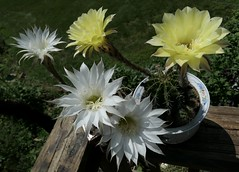 Cactus Flowers - echinopsis - P1190232 (Toby Garden) Tags: echinopsis cactus flowers mellow yellow