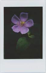 a long rainy season (breeze.kaze) Tags: instant film fujiinstaxminifilm tlrcamera mintinstantflextl70 rain flower