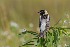 CA3I6832-Bobolink (tfells) Tags: bobolink bird nature wildlife grassland middlecreek pennsylvania dolichonyxoryzivorus