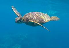 Green Sea Turtle (allie444) Tags: green sea turtle hawaii maui tropic water ocean nature wildlife swim